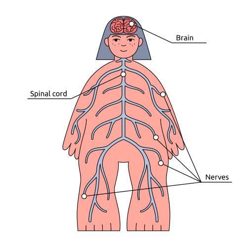 maghz rag shah rang anatomi vector file 1
