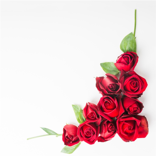 red beautiful roses white background 1