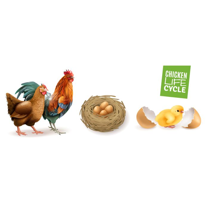 chicken life cycle realistic horizontal set with hen rooster fertile eggs and newly hatched chick 1