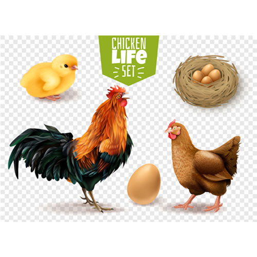 chicken life cycle realistic set from eggs laying chicks hatching adult birds transparent 1