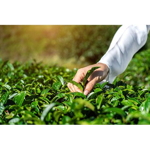 woman picking tea leaves by hand green tea farm 1